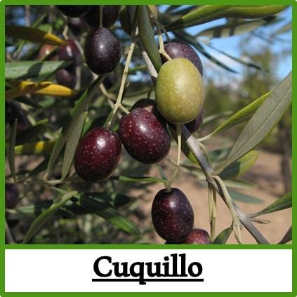 Olivos viveros caliplant for Viveros de olivos